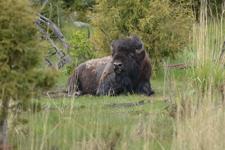 イエローストーン国立公園のアメリカバイソンの画像005