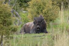 イエローストーン国立公園のアメリカバイソンの画像007