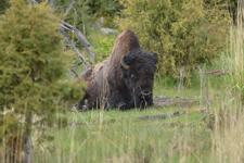 イエローストーン国立公園のアメリカバイソンの画像008
