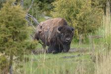 イエローストーン国立公園のアメリカバイソンの画像009