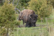 イエローストーン国立公園のアメリカバイソンの画像010