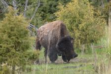 イエローストーン国立公園のアメリカバイソンの画像011