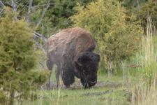イエローストーン国立公園のアメリカバイソンの画像012