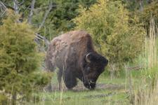 イエローストーン国立公園のアメリカバイソンの画像013