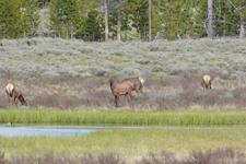 イエローストーン国立公園のエルクの画像008