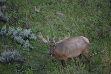 イエローストーン国立公園のエルクの画像014