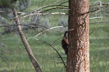 イエローストーン国立公園のブラックベアーの画像001