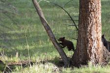 イエローストーン国立公園のブラックベアーの画像002