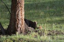 イエローストーン国立公園のブラックベアーの画像004