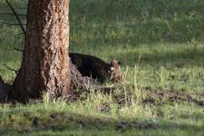 イエローストーン国立公園のブラックベアーの画像005