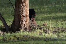 イエローストーン国立公園のブラックベアーの画像007