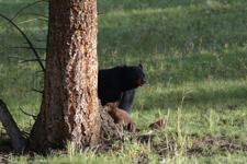 イエローストーン国立公園のブラックベアーの画像010