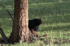 イエローストーン国立公園のブラックベアーの画像011