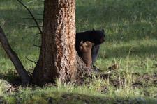 イエローストーン国立公園のブラックベアーの画像012
