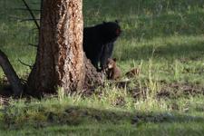イエローストーン国立公園のブラックベアーの画像015