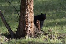 イエローストーン国立公園のブラックベアーの画像016