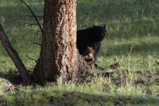 イエローストーン国立公園のブラックベアーの画像018