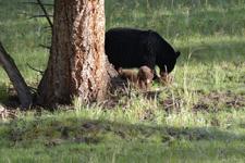 イエローストーン国立公園のブラックベアーの画像022