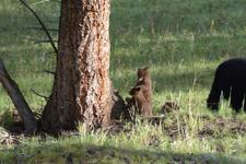 イエローストーン国立公園のブラックベアーの画像024