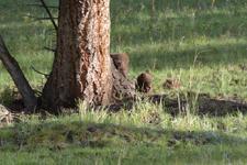 イエローストーン国立公園のブラックベアーの画像025