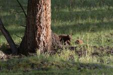 イエローストーン国立公園のブラックベアーの画像029