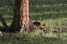イエローストーン国立公園のブラックベアーの画像030