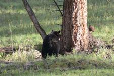 イエローストーン国立公園のブラックベアーの画像034