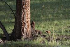 イエローストーン国立公園のブラックベアーの画像039