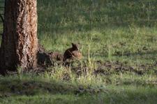 イエローストーン国立公園のブラックベアーの画像040