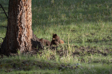 イエローストーン国立公園のブラックベアーの画像041