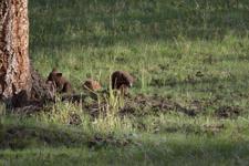 イエローストーン国立公園のブラックベアーの画像042