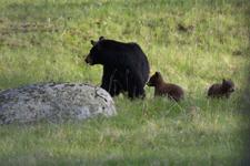 イエローストーン国立公園のブラックベアーの画像044