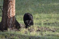 イエローストーン国立公園のブラックベアーの画像049