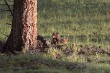 イエローストーン国立公園のブラックベアーの画像052