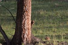 イエローストーン国立公園のブラックベアーの画像054