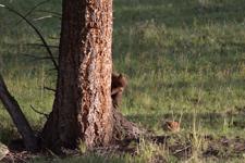 イエローストーン国立公園のブラックベアーの画像055