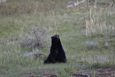 イエローストーン国立公園のブラックベアーの画像059