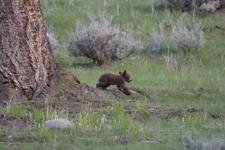 イエローストーン国立公園のブラックベアーの画像060