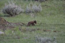 イエローストーン国立公園のブラックベアーの画像061