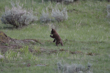 イエローストーン国立公園のブラックベアーの画像063