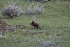イエローストーン国立公園のブラックベアーの画像064