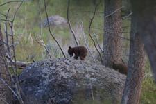 イエローストーン国立公園のブラックベアーの画像069