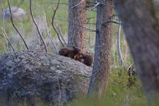 イエローストーン国立公園のブラックベアーの画像072