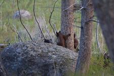 イエローストーン国立公園のブラックベアーの画像075