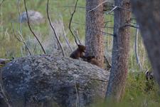 イエローストーン国立公園のブラックベアーの画像076