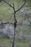 イエローストーン国立公園のブラックベアーの画像079