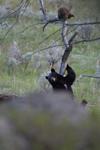 イエローストーン国立公園のブラックベアーの画像080