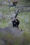 イエローストーン国立公園のブラックベアーの画像081