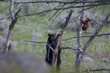 イエローストーン国立公園のブラックベアーの画像083