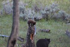 イエローストーン国立公園のブラックベアーの画像084